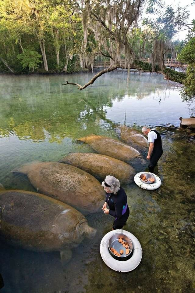 a group of manatees snack on sweet potatoes in shallow water